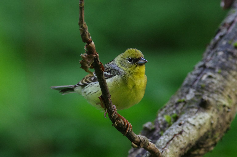 AFボーグ BORG71FLで撮影した野鳥・ノジコの写真画像