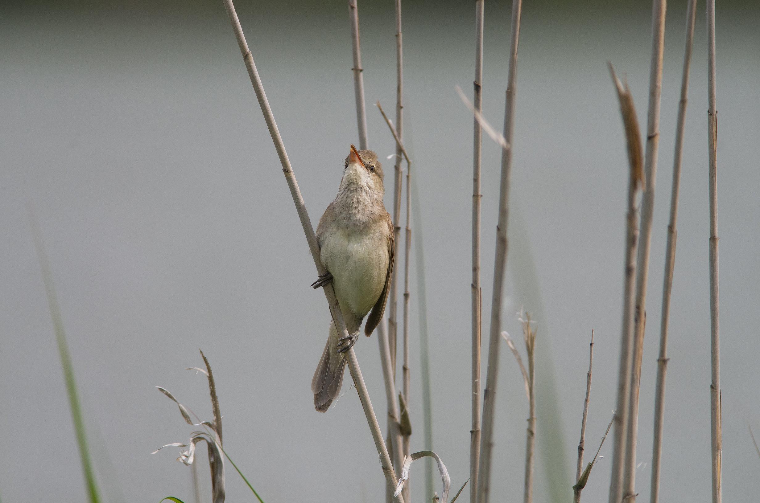 AFボーグ BORG71FLで撮影した野鳥・オオヨシキリの写真画像