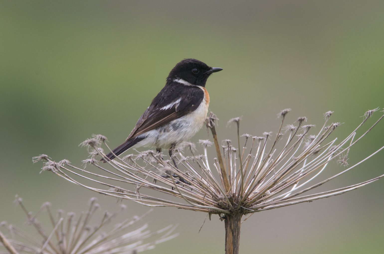 霧ケ峰のノビタキの野鳥写真画像