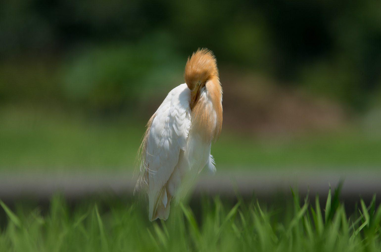 AFボーグ BORG71FLで撮影した野鳥・アマサギの写真画像