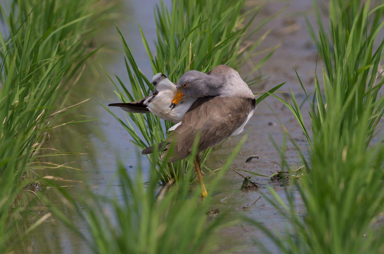 BORG89EDで撮影した野鳥・ケリの写真画像