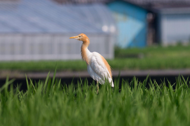 BORG45EDⅡで撮影した野鳥・アマサギの写真画像