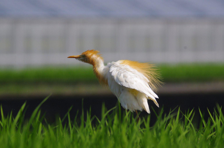 AFボーグ BORG60EDで撮影した野鳥・アマサギの写真画像