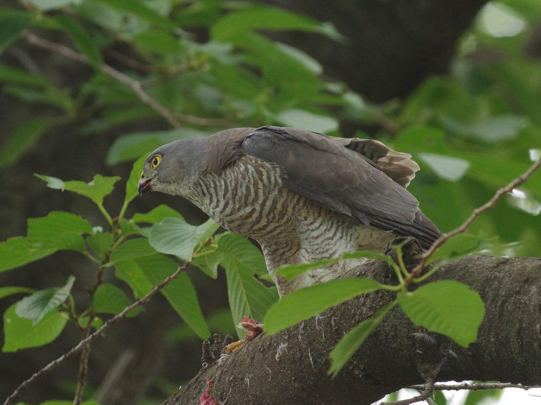 BORGで撮影した野鳥・ツミの写真画像