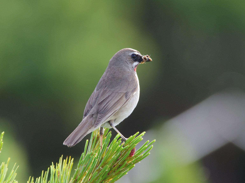 AFボーグ BORG71FLで撮影した野鳥・ノゴマの写真画像