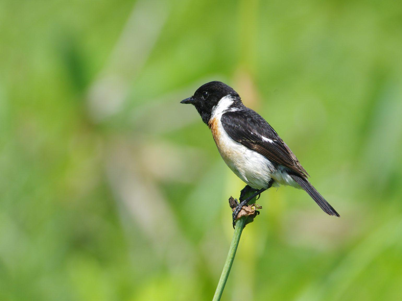 AFボーグ BORG71FLで撮影した野鳥・ノビタキの写真画像