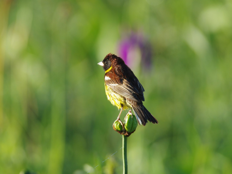 AFボーグ BORG71FLで撮影した野鳥・オオジュリンの写真画像