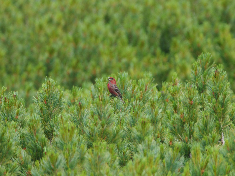 AFボーグ BORG71FLで撮影した野鳥・ギンザンマシコの写真画像
