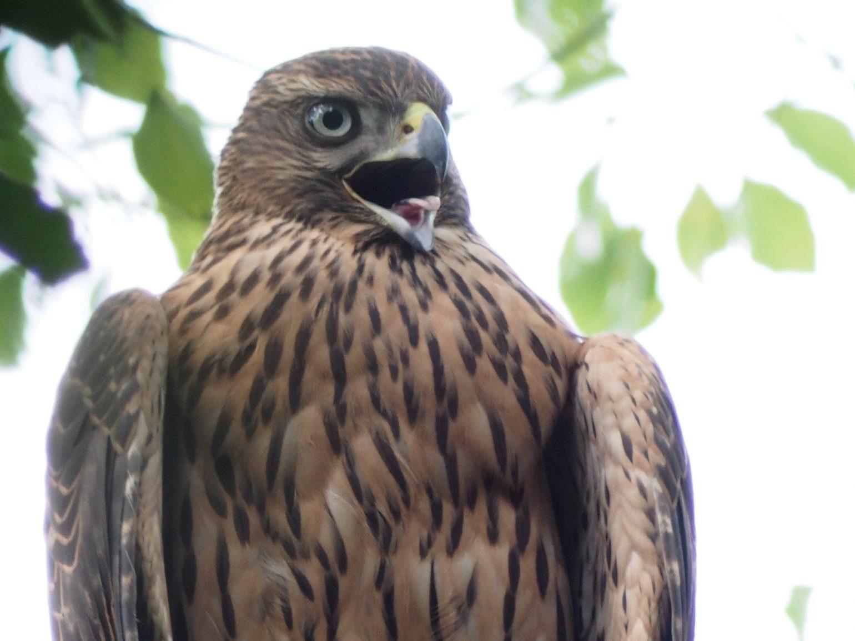 BORG89EDで撮影した野鳥・オオタカの写真画像