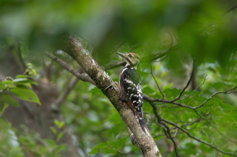 AFボーグ BORG71FLで撮影した野鳥・オオアカゲラの写真画像