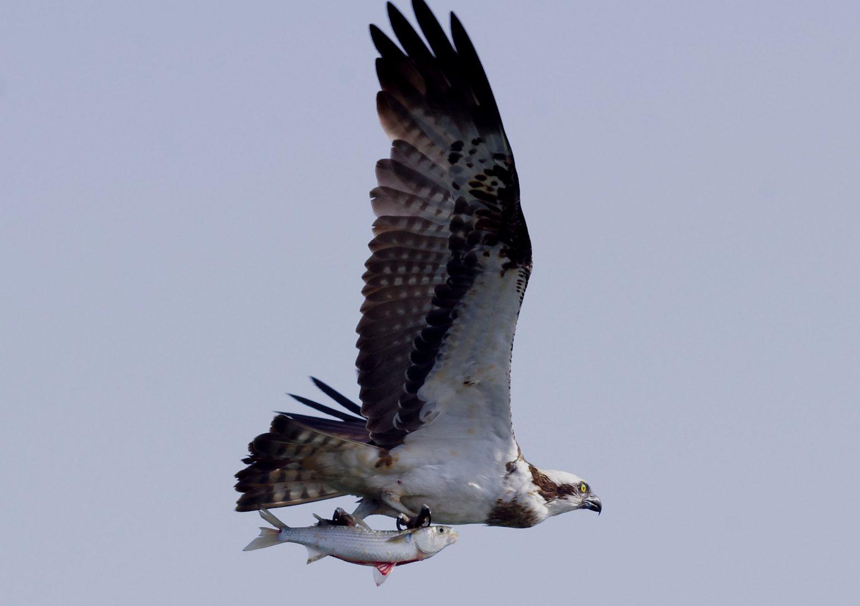 BORGで撮影した野鳥・ミサゴの写真画像