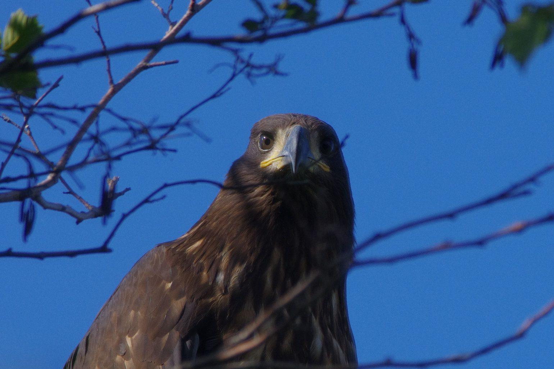 AFボーグ BORG71FLで撮影した野鳥・オジロワシの写真画像