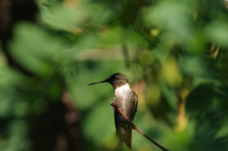 BORG77EDⅡで撮影した野鳥・ハチドリの写真画像