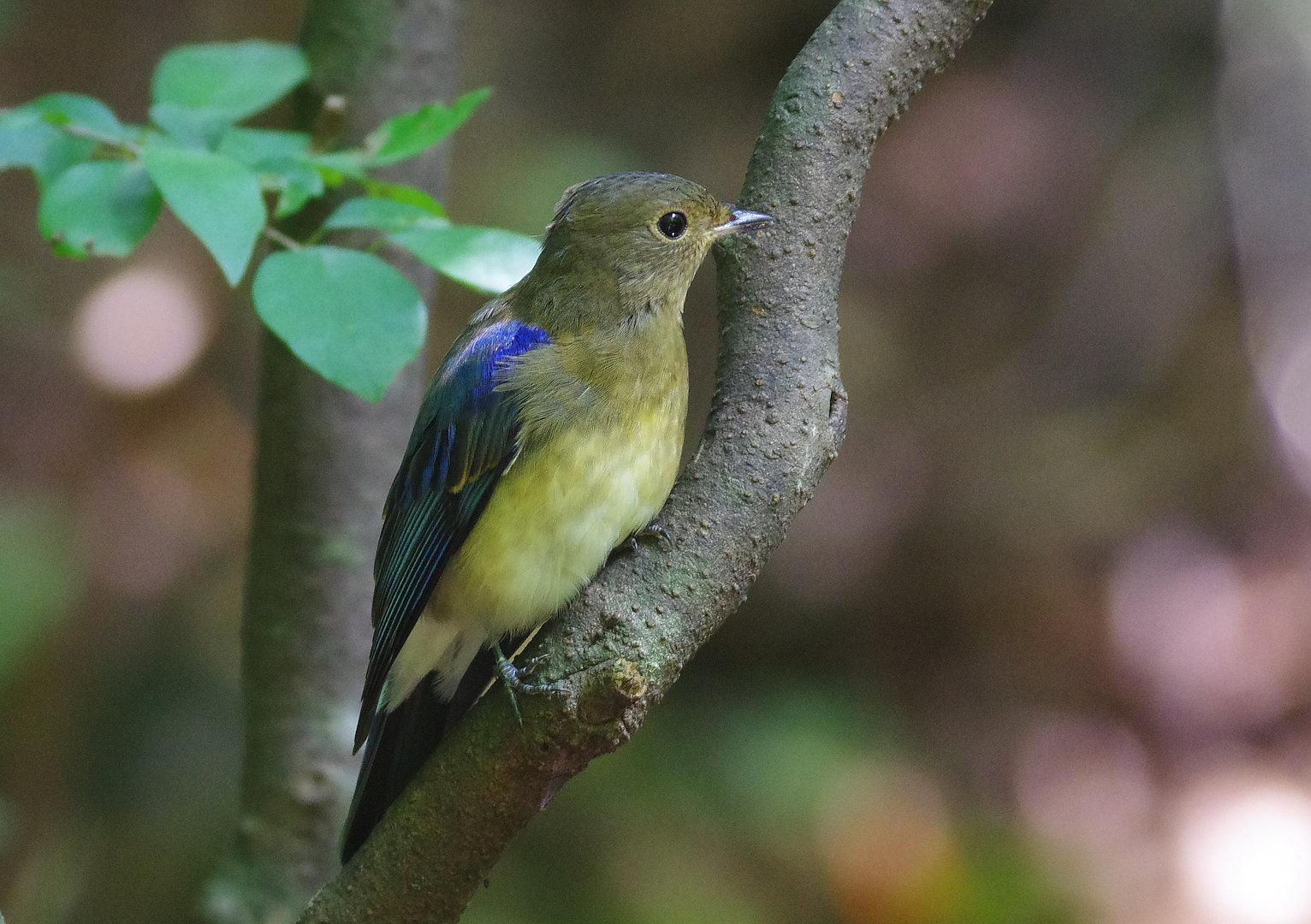 BORG77EDⅡで撮影した野鳥・オオルリの写真画像