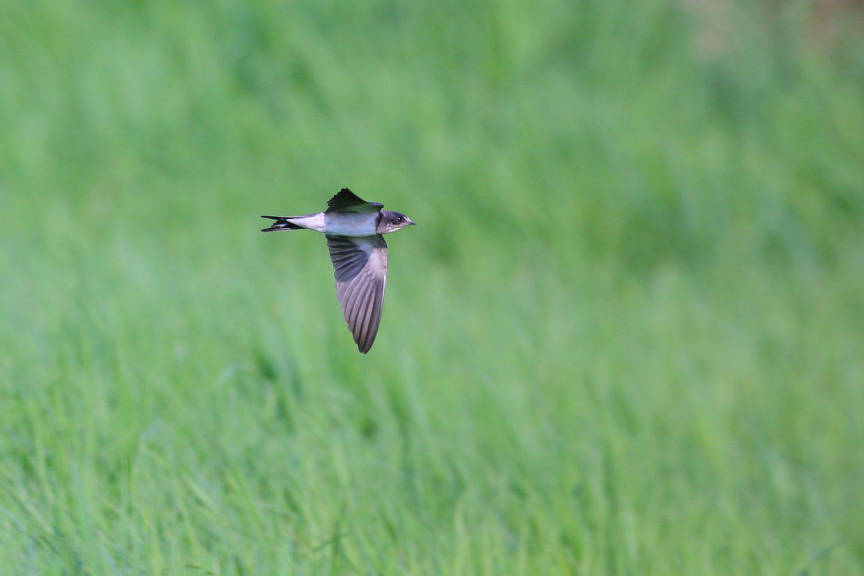 AFボーグ BORG71FLで撮影したツバメ飛翔写真