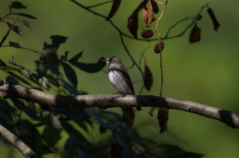 BORG89EDで撮影した野鳥・エゾビタキの写真画像
