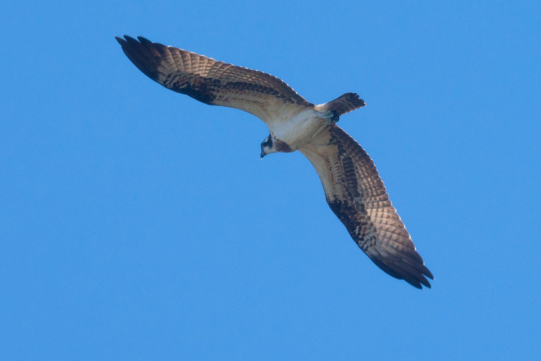 BORG50FLで撮影した野鳥・ミサゴの写真画像