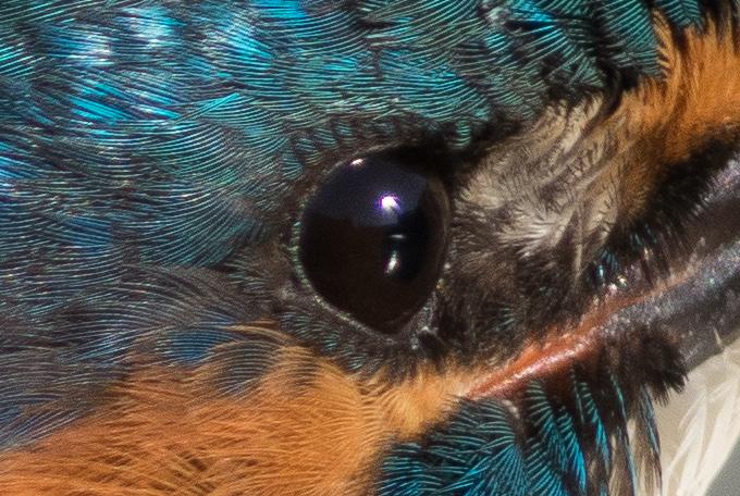 カワセミのアイリングの羽の写真