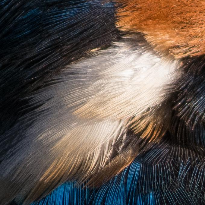 カワセミの白い羽の画像