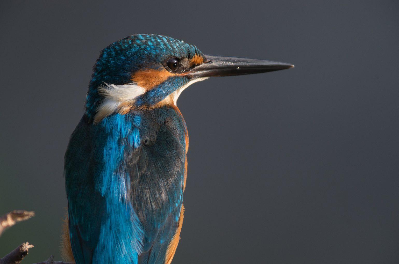 AFボーグ BORG89EDで撮影した野鳥・カワセミの写真画像