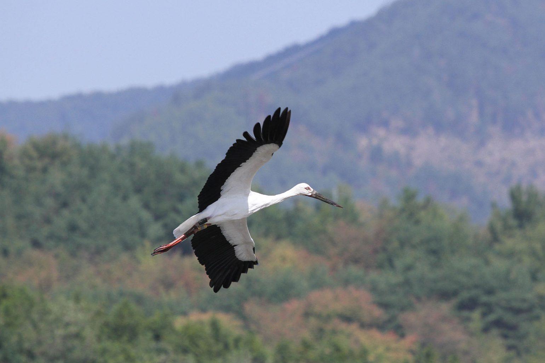 AFボーグ BORG77EDⅡで撮影した野鳥・コウノトリの写真画像