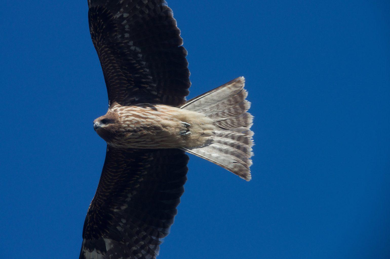 AFボーグ BORG50FLで撮影した野鳥の写真画像
