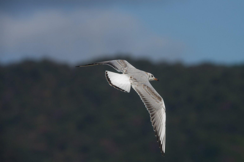 AFボーグ BORG50FLで撮影した野鳥カモメの写真画像