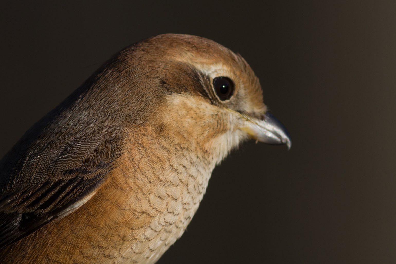 BORG89EDで撮影した野鳥・モズの写真画像