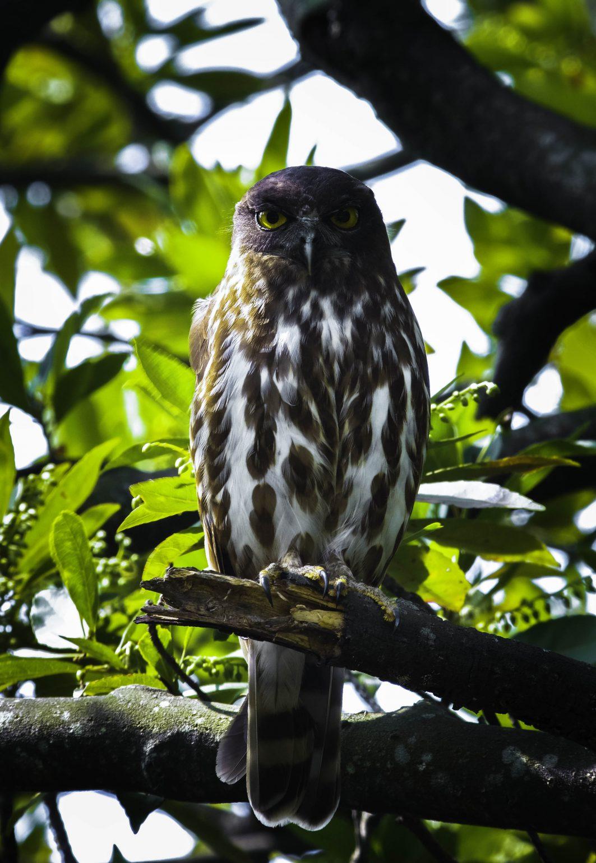 AFボーグ BORG71FLで撮影した野鳥・アオバズクの写真画像