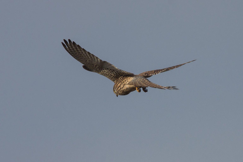 AFボーグ BORG71FLで撮影した野鳥・チョウゲンボウの写真画像