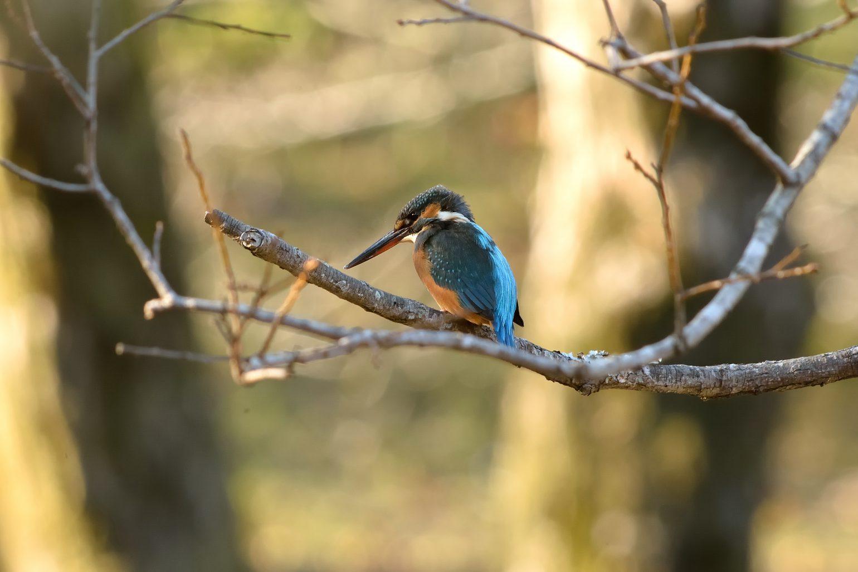 BORG45EDⅡで撮影した野鳥・カワセミの写真画像