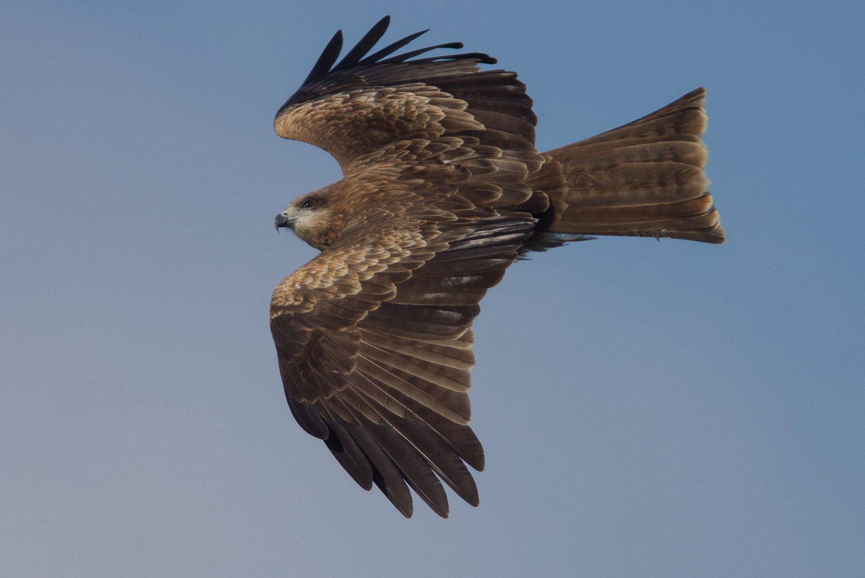 AFボーグ BORG71FLで撮影した野鳥・トンビの写真画像