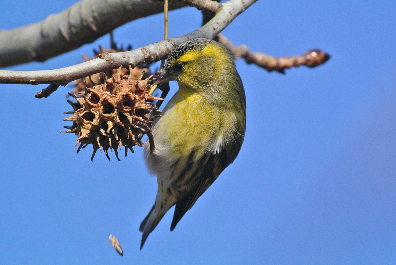 BORG71FLで撮影した野鳥・マヒワの写真画像
