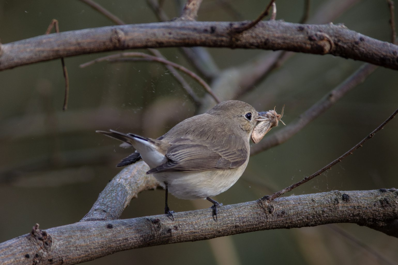 AFボーグ BORG71FLで撮影した野鳥・オジロビタキの写真画像