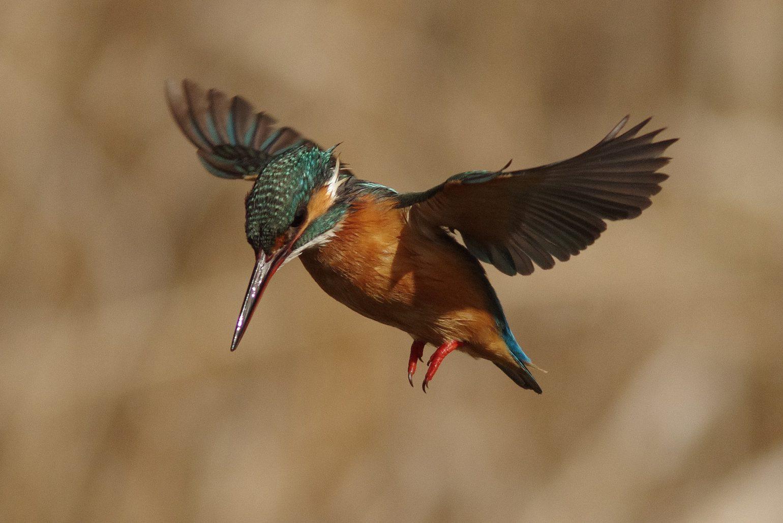 AFボーグ BORG89EDで撮影した野鳥・カワセミのホバリング写真画像