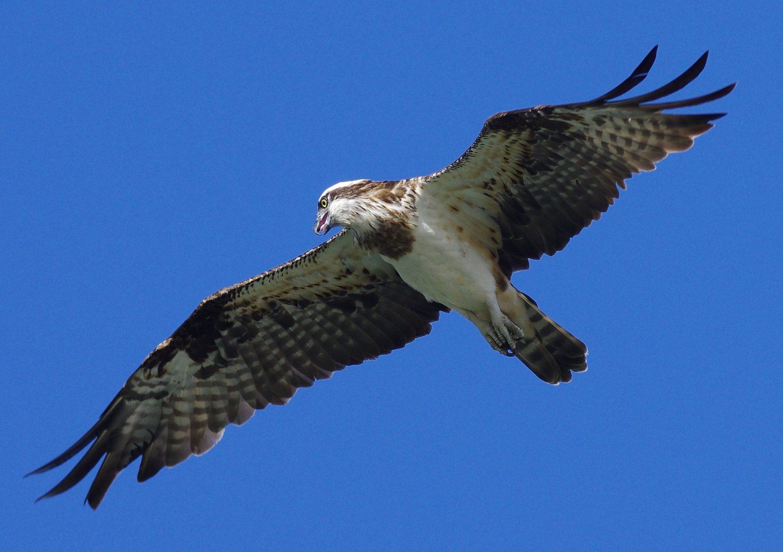 BORG77EDⅡで撮影した野鳥・ミサゴの飛翔写真画像