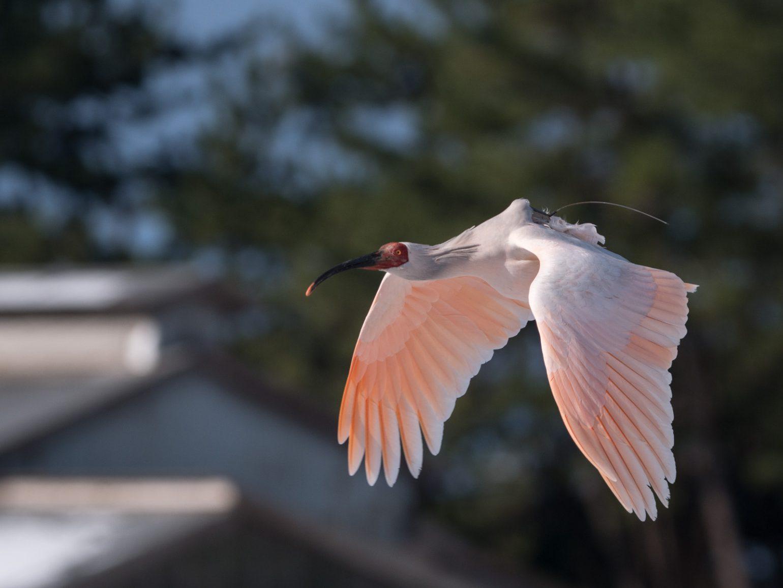 BORGで撮影した野鳥・トキの写真画像