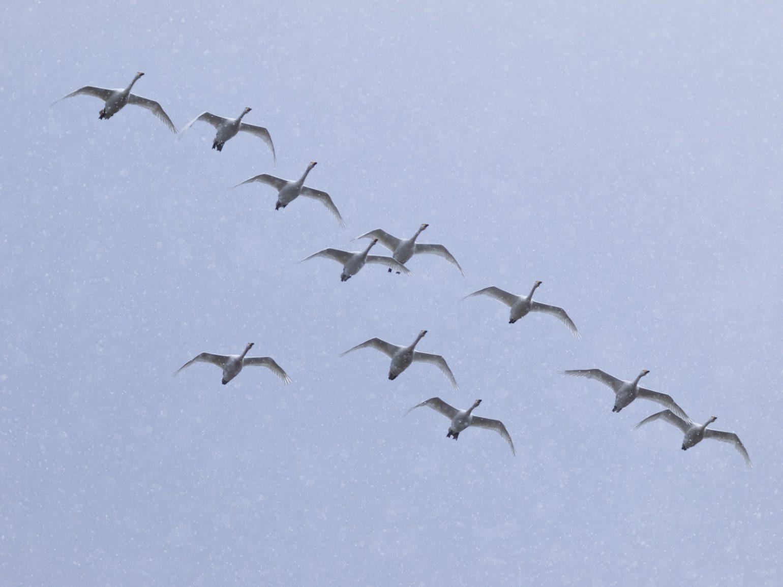 BORGで撮影した野鳥・ハクチョウの写真画像
