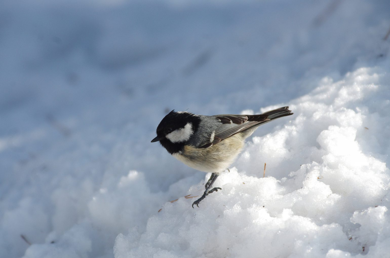 AFボーグ BORG71FLで撮影した野鳥・ヒガラの写真画像