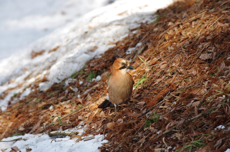 AFボーグ BORG71FLで撮影した野鳥・ミヤマカケスの写真画像