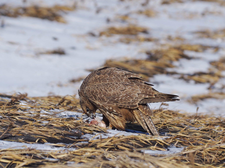 AFボーグ BORG71FLで撮影した野鳥・シロハヤブサの写真画像