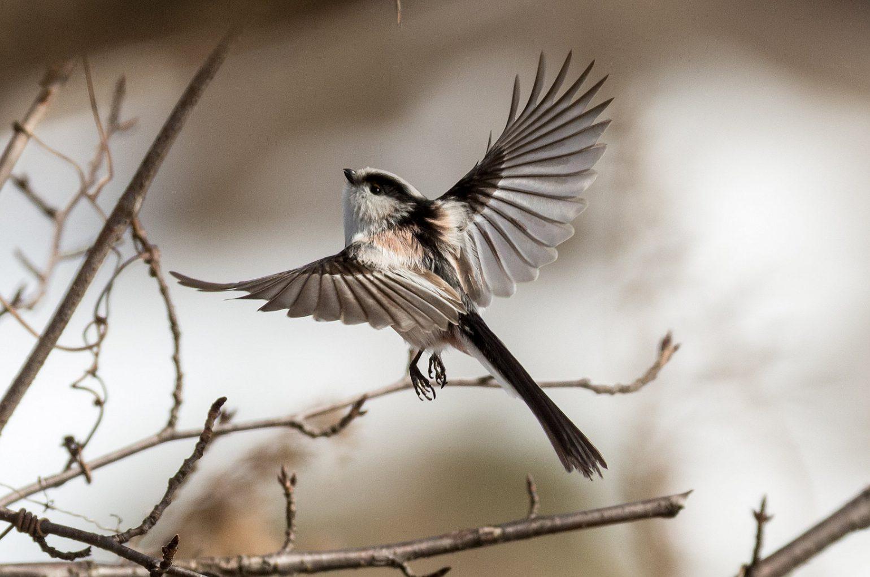 BORG71FLで撮影した野鳥・エナガの写真画像
