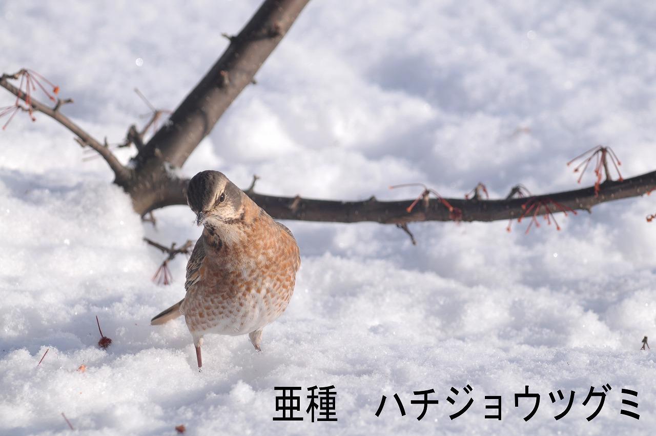 BORG77EDⅡで撮影した野鳥・ハチジョウツグミの写真画像