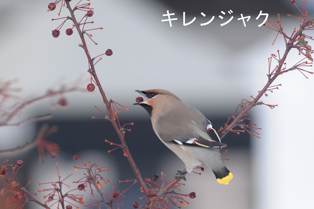 BORG77EDⅡで撮影した野鳥・キレンジャクの写真画像