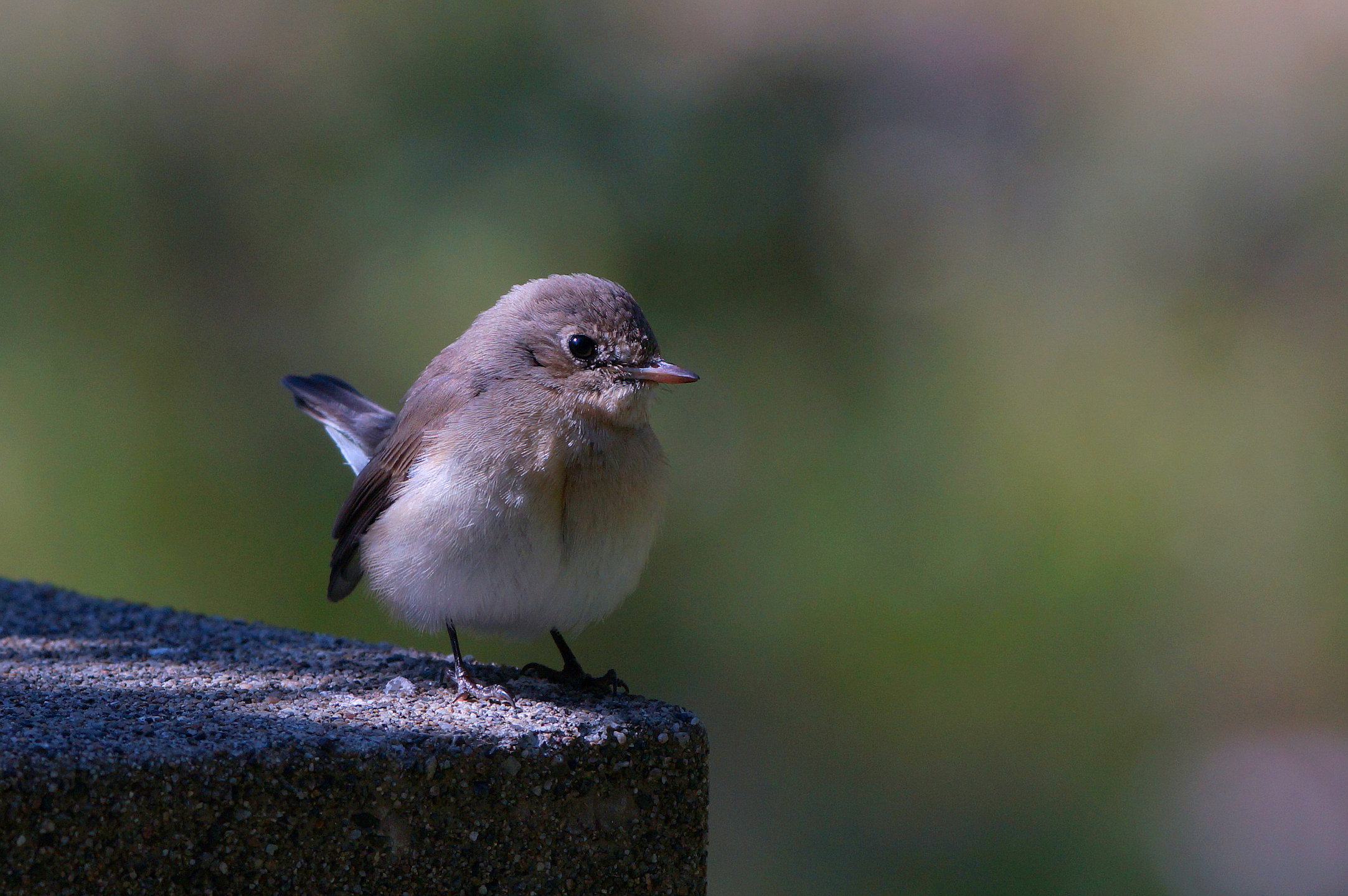 BORG71FLで撮影した野鳥・オジロビタキの写真画像