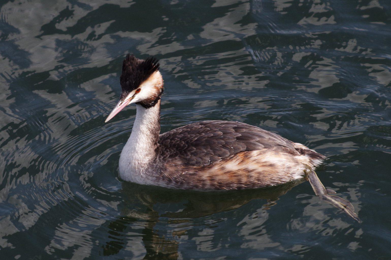 BORGで撮影した野鳥・カンムリカイツブリの写真画像