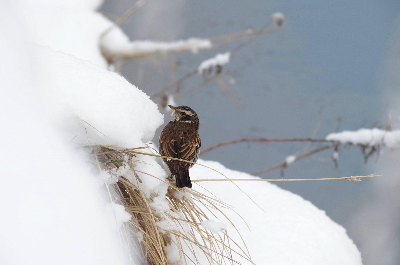 BORGで撮影した野鳥・ツグミの写真画像