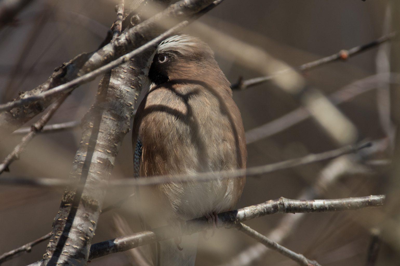 AFボーグ BORG71FLで撮影した野鳥・カケスの写真画像