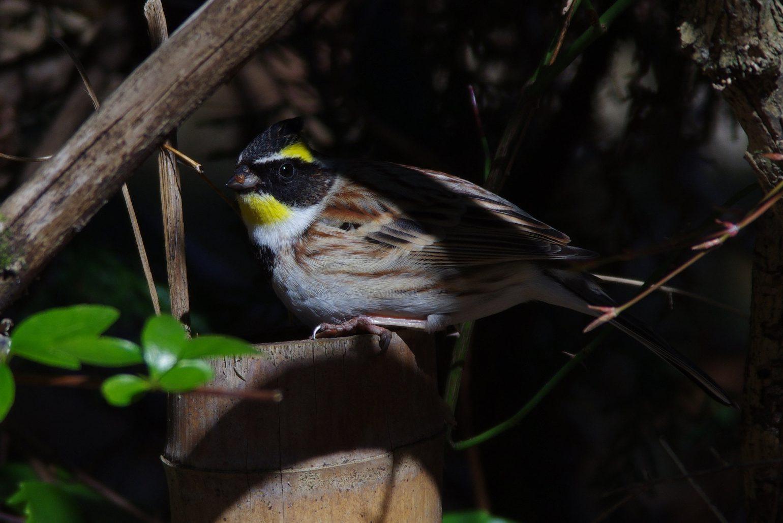 AFボーグ BORG71FLで撮影した野鳥・ミヤマホオジロの写真画像