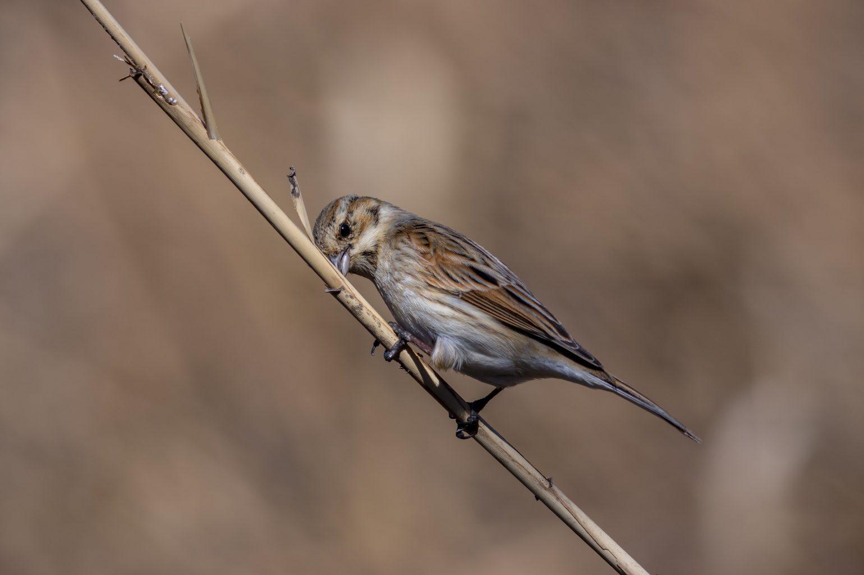 BORG89EDで撮影した野鳥・オオジュリンの写真画像